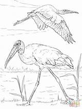 Coloring Pages Wood Storks Stork Bird Printable Drawing Paper Water Realistic Animals Through sketch template