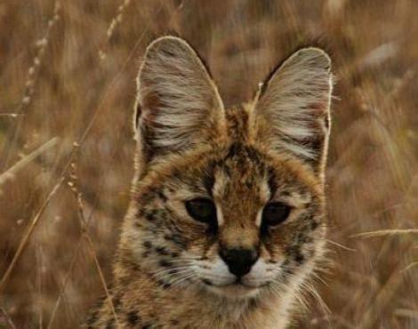serval leptailurus serval animals   animals