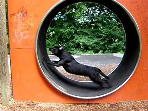 hund im laufrad hamster dog runstopp   wheel youtube