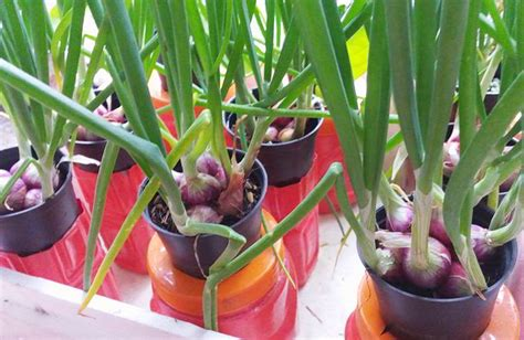 tahap mudah menanam bawang merah hidroponik sederhana