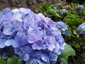 Blau Blühender Bodendecker : kostenlose foto natur blume bl tenblatt blau hortensie floralen hintergr nde zart blaue ~ Frokenaadalensverden.com Haus und Dekorationen