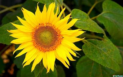 Sunflower Yellow Wallpapers Flowers Laptop Backgrounds Walls
