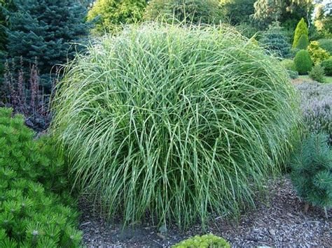 landscape grass types 351 best ornamental grasses in the garden images on pinterest landscaping garden layouts and