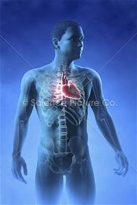 Heart Within The Chest - Spc-id-3070