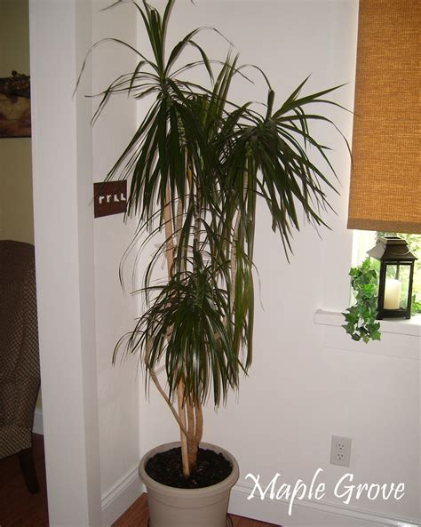 trees you can plant to house maple grove houseplant makeover