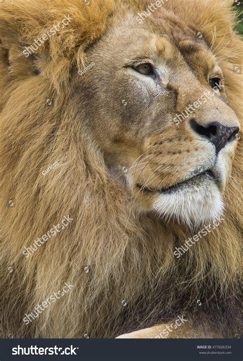 asian lion pictures