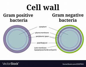 Gram Negative Bacterial Cell Wall Diagram