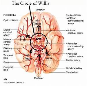 The Circle Of Willis