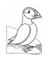 Puffin Coloring Pages Puffins sketch template