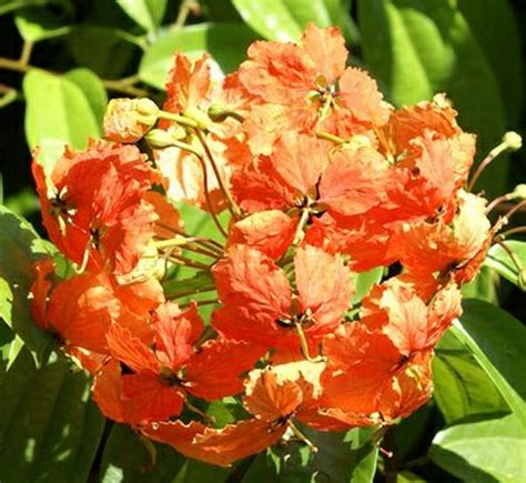 tanaman hias bauhinia kockiana tanaman trailing bauhinia bibitbunga