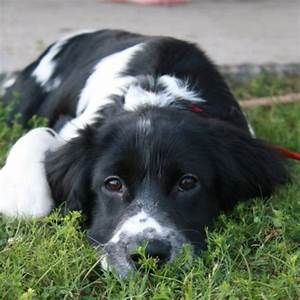 17+ best images about Springer spaniel border collie mix ...