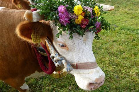 reasons cows    favorite animal