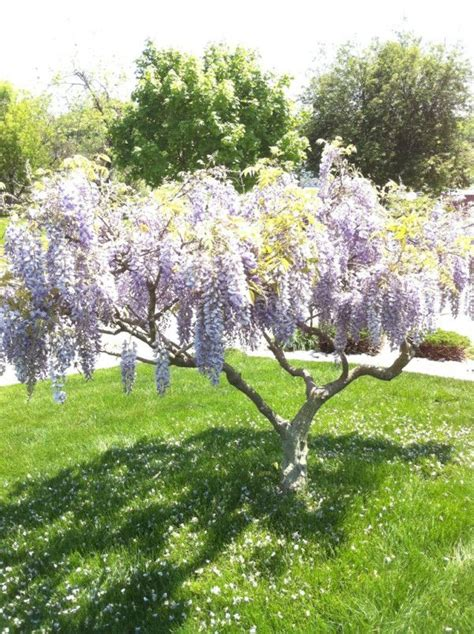 Lilac Tree by The 25 Best Lilac Tree Ideas On Prune Lilac