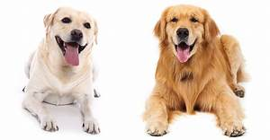Labrador Retriever vs Golden Retriever - Which Breed Is Best?