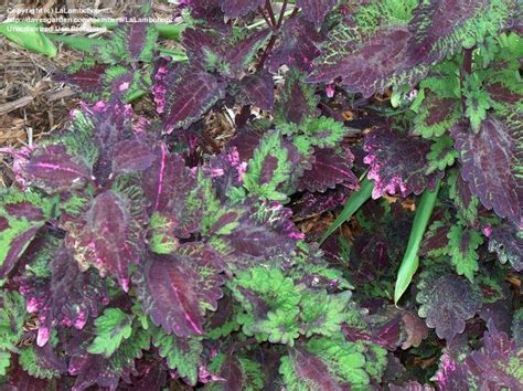 coleus cultivars 17 best images about coleus cultivars on pinterest