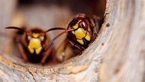 Comment Repérer Un Nid De Frelon : comment d truire un nid de frelons c t maison ~ Melissatoandfro.com Idées de Décoration