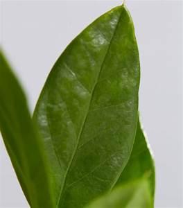 Glücksfeder Gelbe Blätter : gl cksfeder dehner ~ Markanthonyermac.com Haus und Dekorationen