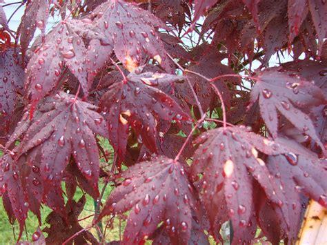 japanese maple leaf spots japanese maple problem ask an expert