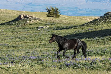 mountain wild pryor horses wyoming river montana butte photographing pilot horse