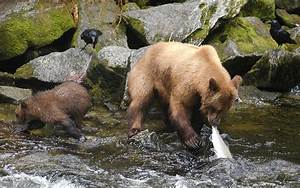 Wildlife photography: learn fishing with Bear Brown Bear ...