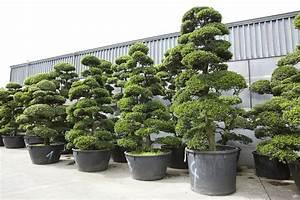 Bonsai Kaufen Berlin : gartenbonsai kaufen ilex crenata bonsai kaufen pinus bonsai preise incl lieferung originalfotos ~ Orissabook.com Haus und Dekorationen