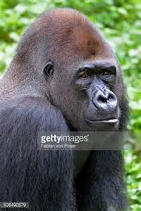 Western Gorilla Animal
