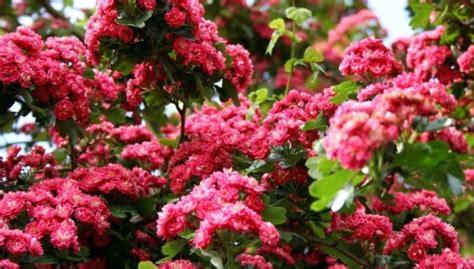 Asi ilkņi bagātīgās ziedu kupenās - vilkābele - DELFI