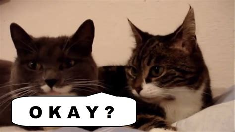 The Two Talking Cats Translation (okay?) Youtube