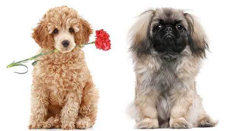 peekapoo owners guide  adorable pekingese poodle mix