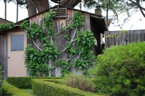 espalier fig 17 best images about espalier fig on pinterest trees the fig and vegetable garden