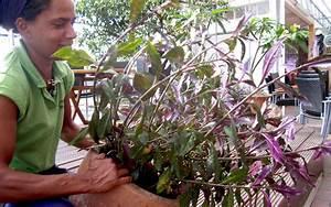 Japanischer Spinat Pflanze : handama okinawa spinat pflanze gynura crepioides spinat salbei s holz pflanzen ~ Frokenaadalensverden.com Haus und Dekorationen