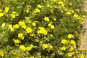 Arbuste Plein Soleil Longue Floraison : potentille potentille jaune potentilla fruticosa ~ Premium-room.com Idées de Décoration