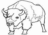 Bison Coloring Pages Realistic Colouring Sheet Meet sketch template