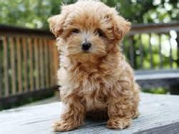 25 best ideas about maltipoo grown on maltipoo cutest small dogs and maltipoo