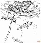 Coloring Pages Frog Tadpole Tadpoles Printable Bullfrog Clipart Animals Frogs Cliparts Ipad Amphibian Pond Toads Drawing Wildlife Drawings 77kb 2228 sketch template