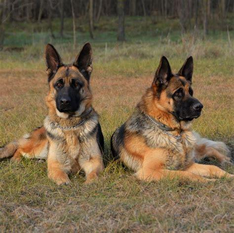 German Guard Dog Breeds