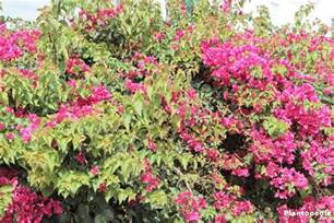 bougainvillea plant care how to grow and prune this flower plantopedia