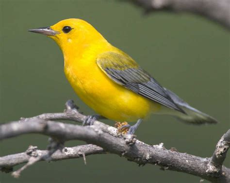 prothonotary warbler audubon field guide