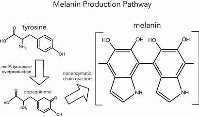 Melanin Team Uv Production Brown Biomembrane Taylor