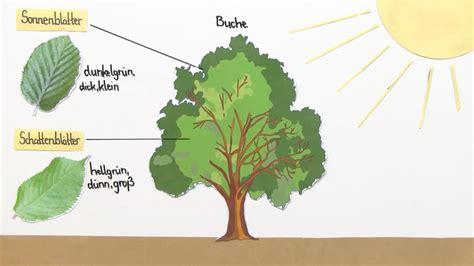 Licht Als Abiotischer Umweltfaktor by Abiotischer Faktor Licht Anpassung Der Pflanzen