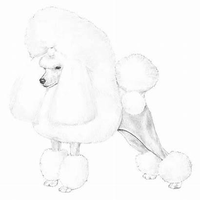 Poodle Dog Akc Breed Standard Breeds Poodles
