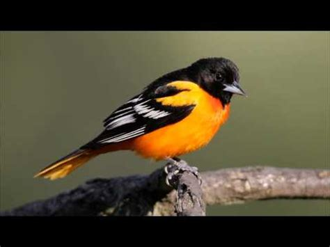 baltimore oriole sounds calls and song youtube