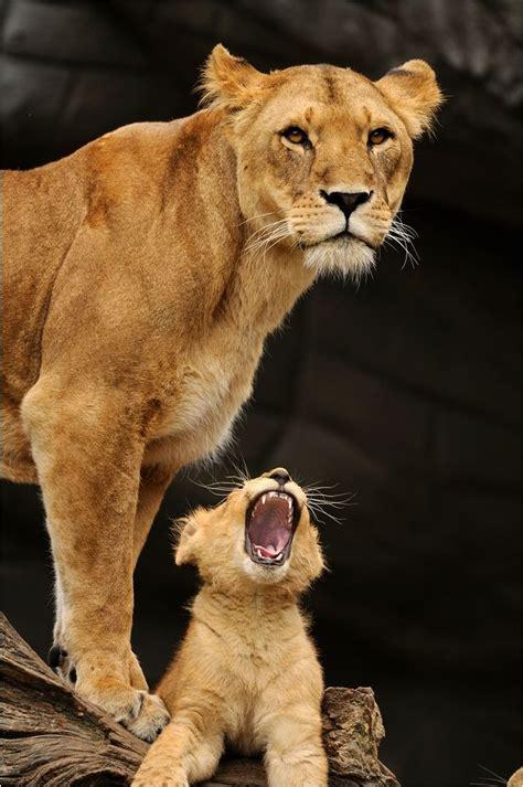 animal kingdom wildlife animal photography lions svenimal