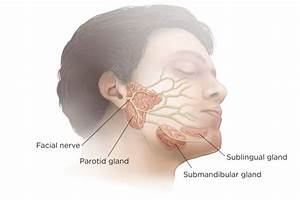 Show Diagram Of Salivary Glands