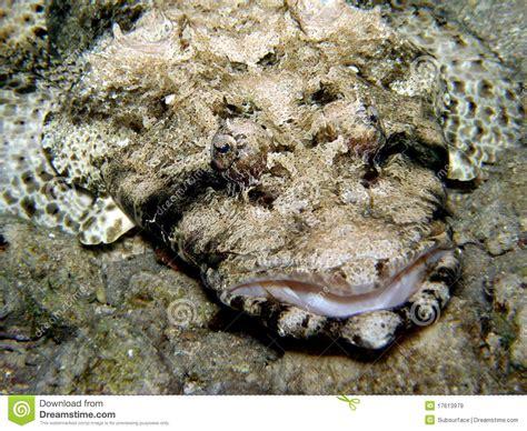 Krokodilfischflacher Kopf  Rotes Meer Stockbild Bild