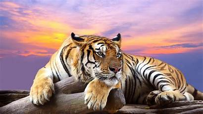Tiger Wallpapers Animals