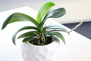 Luftwurzeln Bei Orchideen : wurzeln bei orchideen schneiden darf man luftwurzeln entfernen ~ Frokenaadalensverden.com Haus und Dekorationen