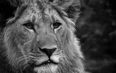 Lion Animals Wallpapers Desktop Cats Lions Leon