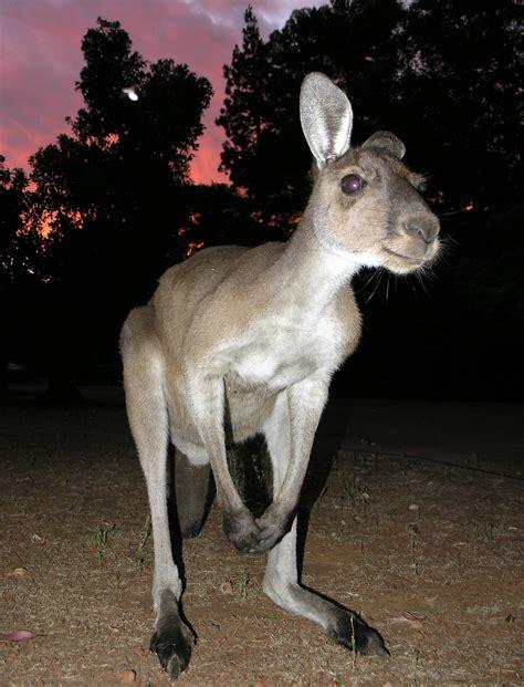 Western grey kangaroo Wikipedia