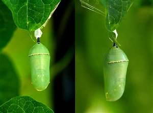 Raising A Monarch Caterpillar - Chrysalis Photos